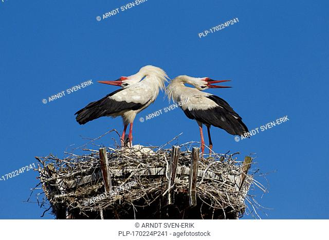 White stork (Ciconia ciconia) couple displaying on nest by bill-clattering and throwing their heads backwards