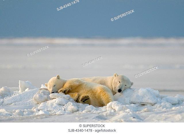 Female Polar Bear Sleeping with Her Cub