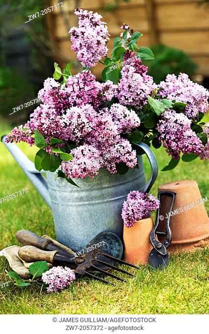 Metal watering can filled with Lilac with terracotta pots and hand tools
