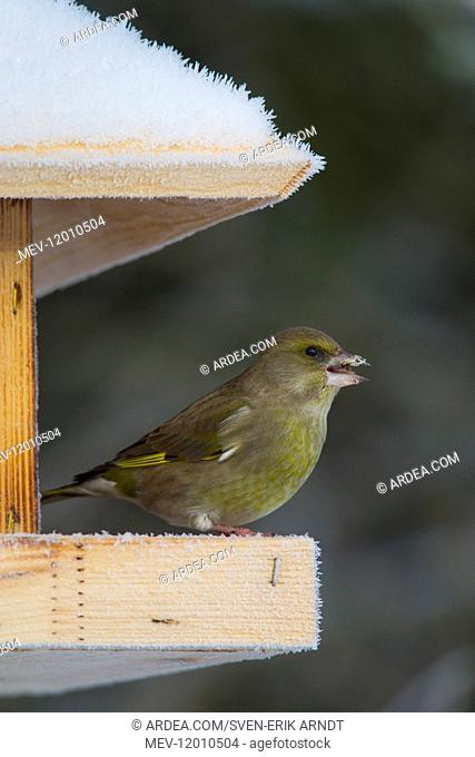 Greenfinch - females at a feeding station in winter - Germany