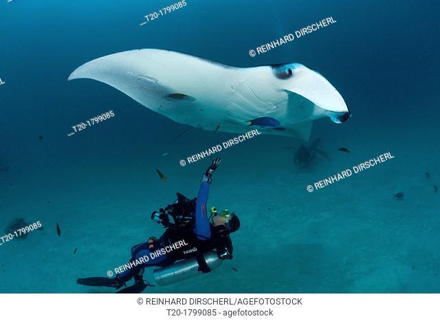 Manta and Scuba diver, Manta birostris, Hanifaru Bay, Baa Atoll, Maldives