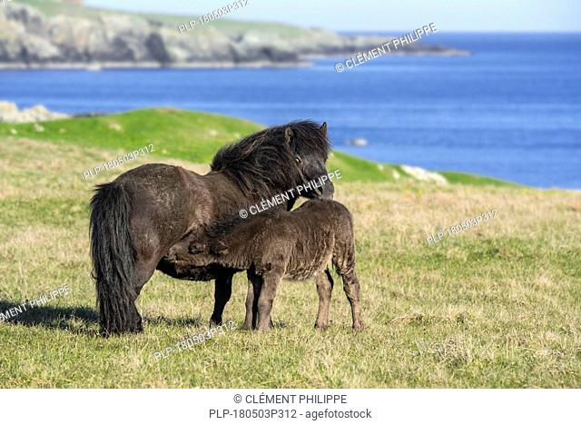 Black Shetland pony mare nursing foal in grassland along the coast on the Shetland Islands, Scotland, UK