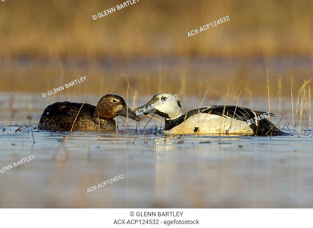 Steller's Eider (Polysticta stelleri) feeding on a small pond on the tundra in Northern Alaska