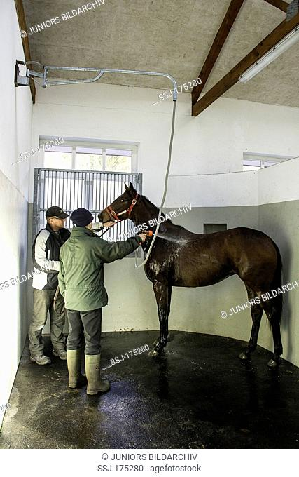 Two grooms bathing a horse with a hose. Germany
