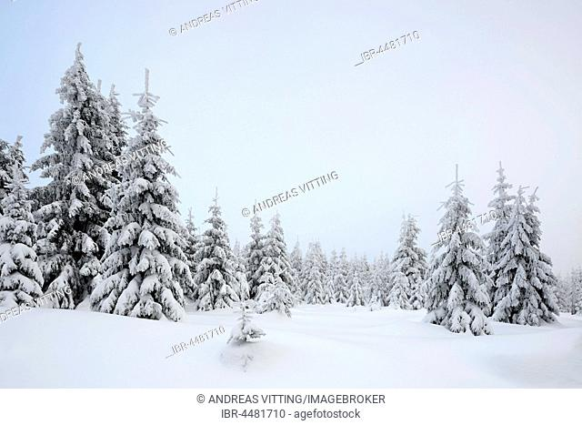 Forest, spruces with snow, fog, snowy white landscape in winter, Harz National Park, in Schierke, Saxony-Anhalt, Germany