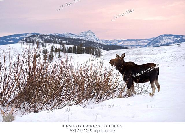 Moose / Elch ( Alces alces ) in winter, feeding on bushes, last evening light, wide open land, Rocky Mountains, caldera of Yellowstone NP, Wyoming, USA