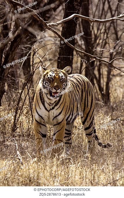 Tiger, Panthera tigris. Arrowhead, Ranthambhore Tiger Reserve, Rajasthan, India