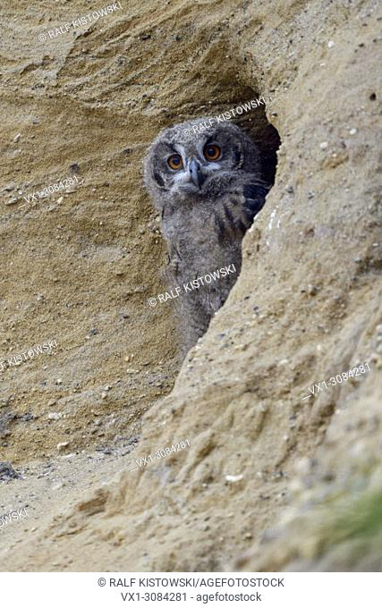 Eurasian Eagle Owl ( Bubo bubo ), young chick, watching out of its nest burrow in a sand pit, wildlife, Europe