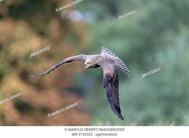 Black Kite (Milvus migrans), captive, Wildpark Neuhaus, Neuhaus im Solling, Lower Saxony, Germany