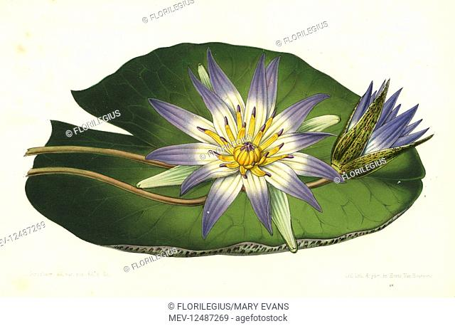 Blue lotus, Nymphaea nouchali var. caerulea (Nymphaea caerulea). Handcoloured lithograph by Stroobant from Louis van Houtte and Charles Lemaire's Flowers of the...