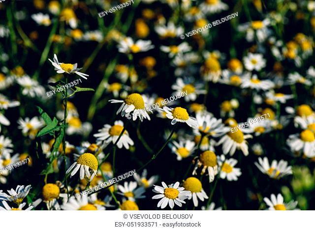 Background of wild chamomile flowers on lawn at summer day