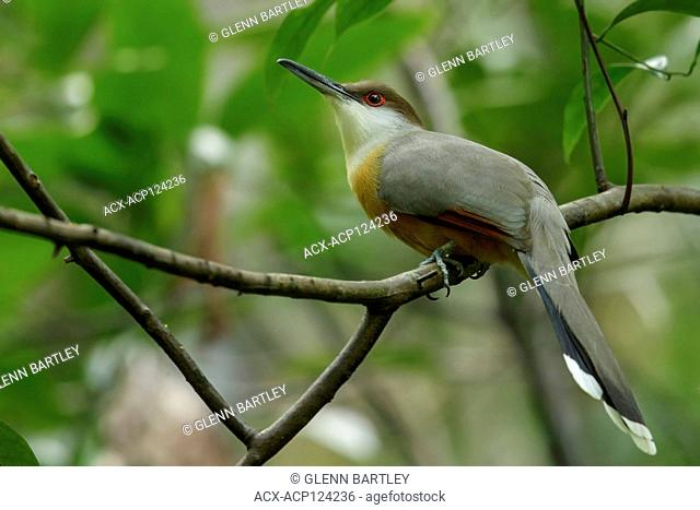 Jamaican Lizard-Cuckoo (Coccyzus vetula) perched on a branch in Jamaica in the Caribbean