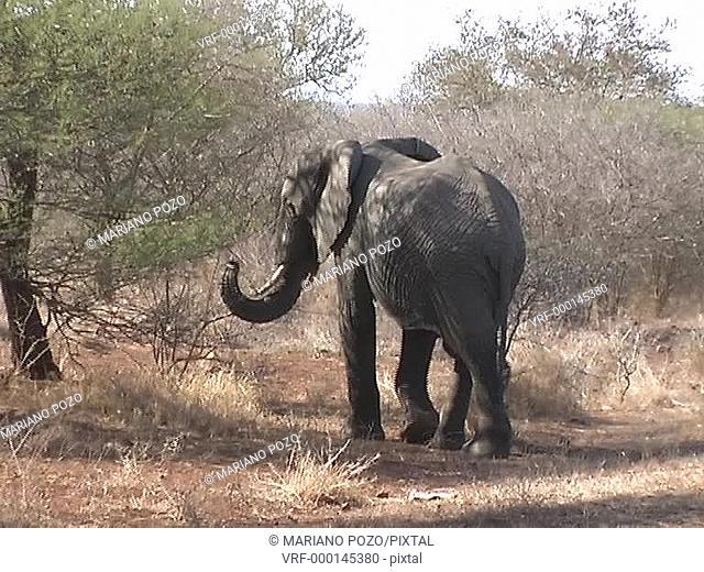 South Africa, Kruger Park, elephants