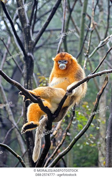 Asia, China, Shaanxi province, Qinling Mountains, Golden Snub-nosed Monkey Rhinopithecus roxellana, adult male on tree