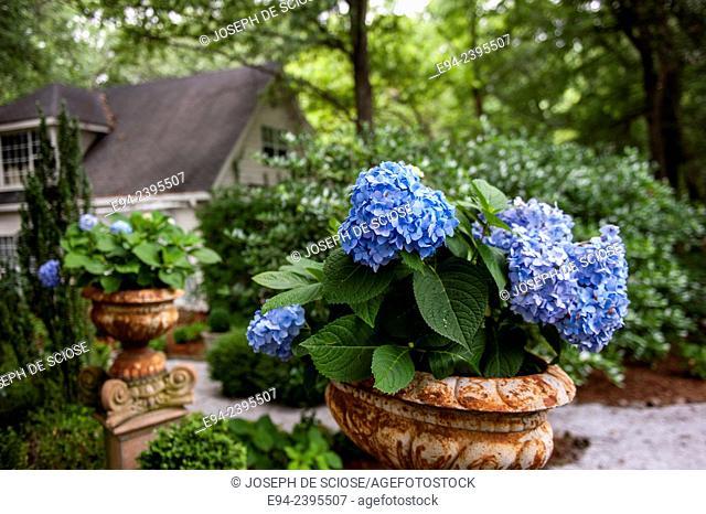 A flowering hydrangea in a container in a garden. Georgia USA