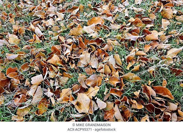 Autumn leaves on grass in city park (Southdale) Winnipeg Manitoba Canada