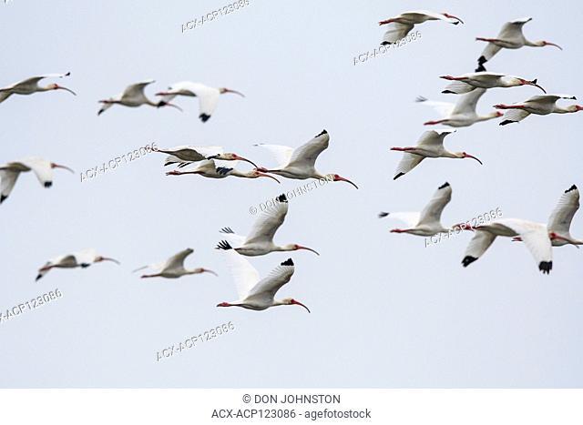 White ibis (Eudocimus Albus) Flock returning to evening roost, Smith Oaks Audubon rookery, High Island, Texas, USA
