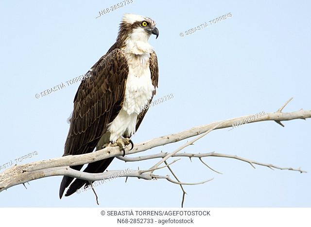 Osprey (Pandion haliaetus) on a branch at Majorca, Balearic Islands, Spain