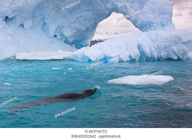 leopard seal Hydrurga leptonyx, in blue water of South Ocean, Antarctica