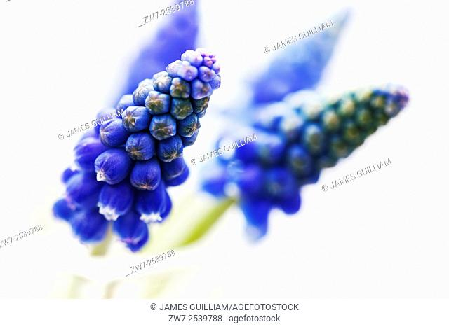 Muscari Grape Hyacinth cut flowers in glass vase