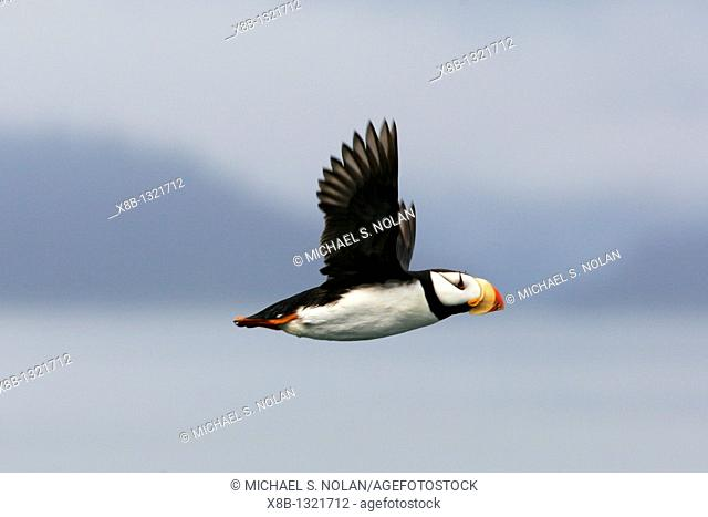 Adult Horned Puffin Fratercula corniculata in flight near South Marble Island in Glacier Bay National Park, Southeast Alaska, USA  Pacific Ocean
