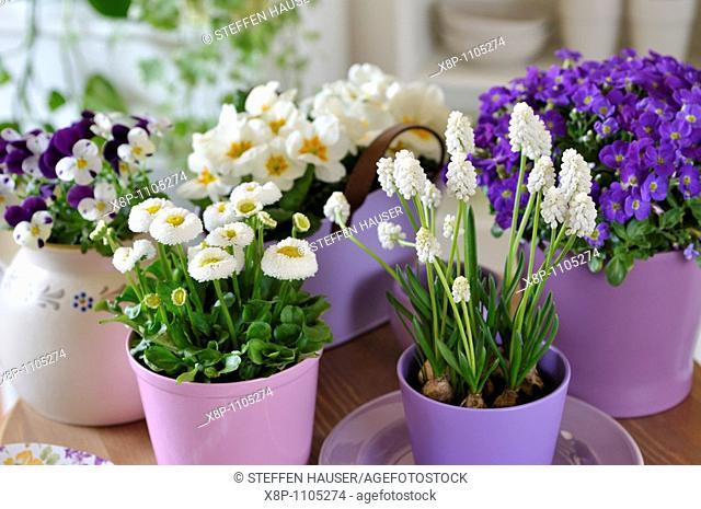 Horned pansy Viola cornuta, daisy Bellis perennis, Armenian grape hyacinth Muscari armeniacum 'White Magic' and aubrieta Aubrieta deltoidea
