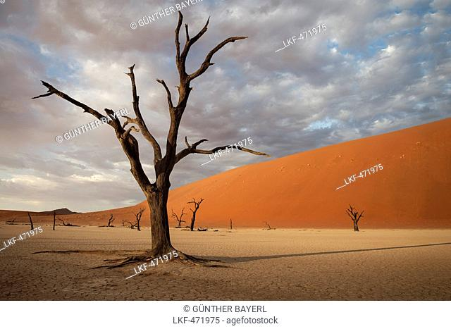 dead camel thorn trees with red dunes at Dead Vlei, around Sossusvlei, Namib Naukluft National Park, Namibia, Namib desert, Africa