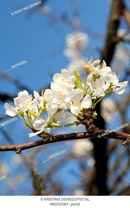 Plum tree blossoms in the Spring