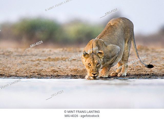 Lioness drinking at waterhole, Panthera leo, Etosha National Park, Namibia