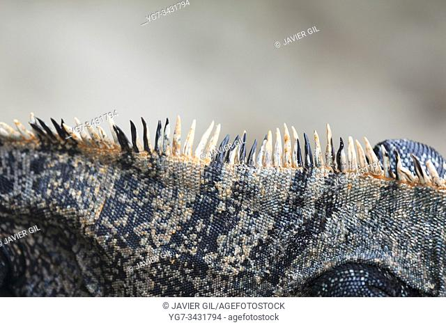 Crest of Black Iguana (Ctenosaura similis), Manuel Antonio National Park, Costa Rica