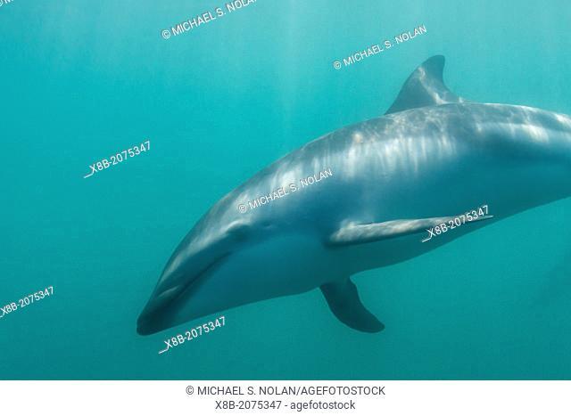 Dusky dolphin, Lagenorhynchus obscurus, underwater off Kaikoura, South Island, New Zealand