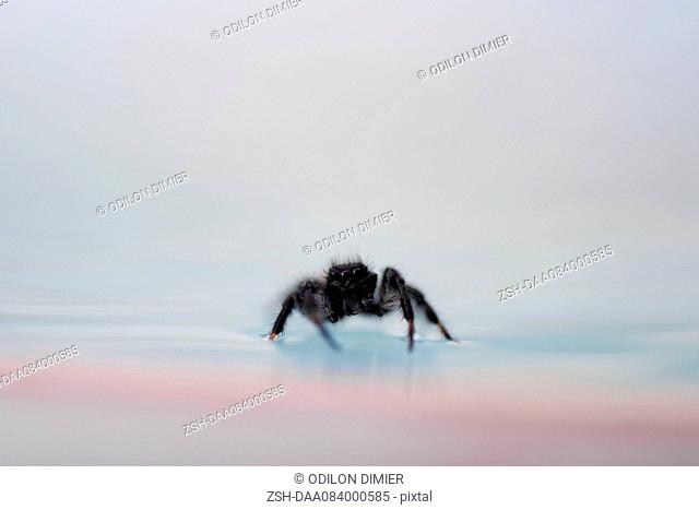 Spider on surface of water