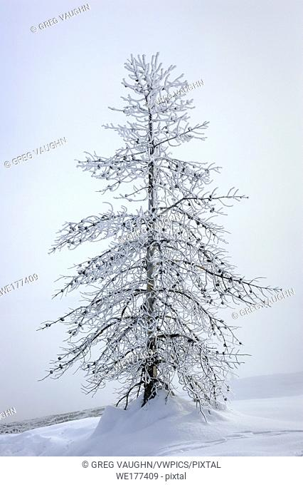 Frosted pine tree, West Thumb Geyser Basin, Yellowstone National Park, Wyoming
