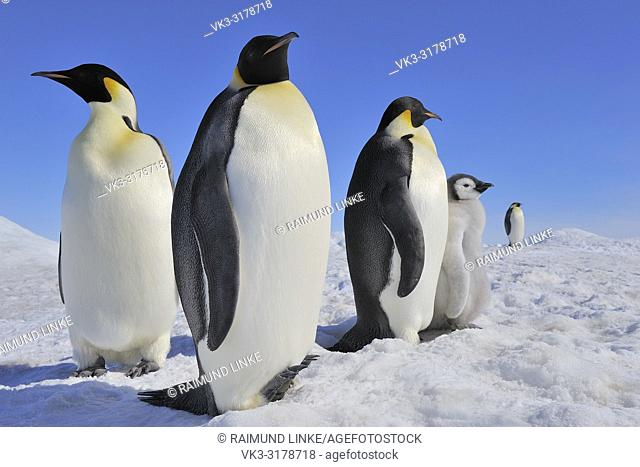 Emperor penguins, Aptenodytes forsteri, Tree Adults with Chick, Snow Hill Island, Antartic Peninsula, Antarctica