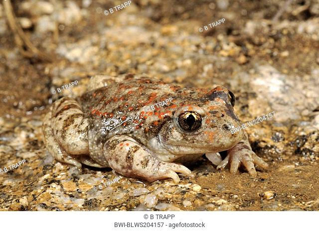 Iberian midwife toad Alytes cisternasii, on shore, Spain, Sierra De Gredos