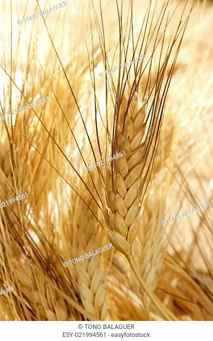 golden wheat cereal, still life