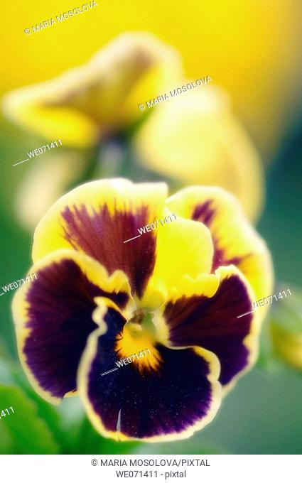 Pansy. Viola x wittrockiana. May 2007, Maryland, USA
