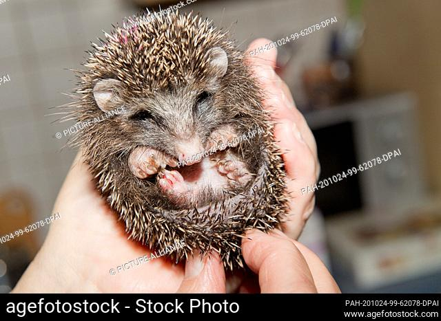23 October 2020, Mecklenburg-Western Pomerania, Kirch Baggendorf: An underweight hedgehog sits on Christiane Uecker's hand in the hedgehog rescue centre...