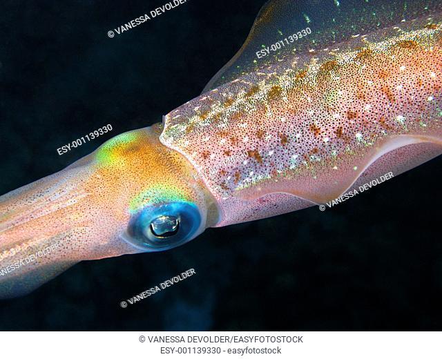 Caribbean reef squid. Location: Bonaire Island, Caribbean