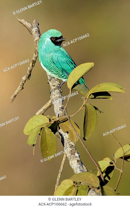 Swallow Tanager (Tersina viridis) perched on a branch in the Pantanal region of Brazil
