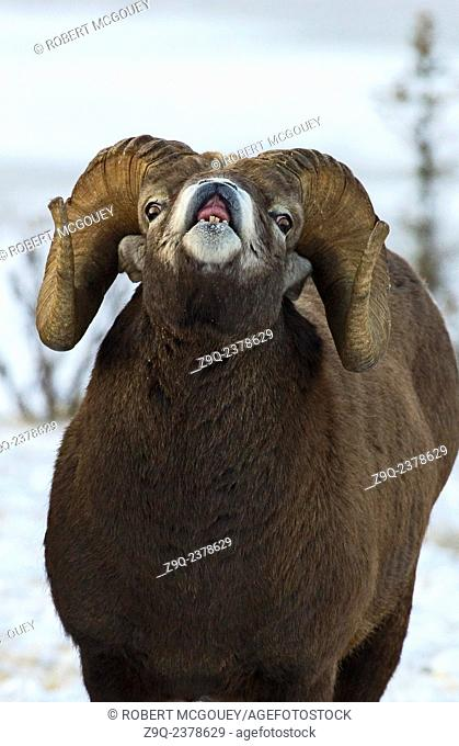 A close up front view of a Bighorn Ram Ovis canadensis, scenting for a female during rutting season