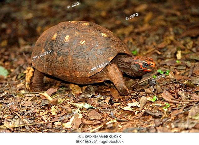 Red-footed Tortoise (Geochelone carbonaria), adult, Pantanal, Brazil, South America