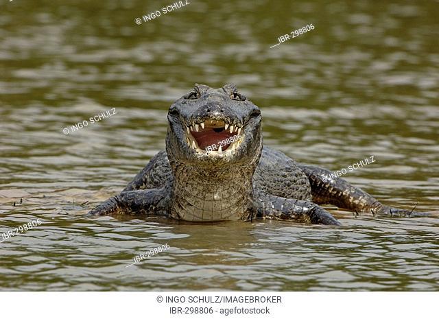Caiman crocodylus, Pantanal , Brasil