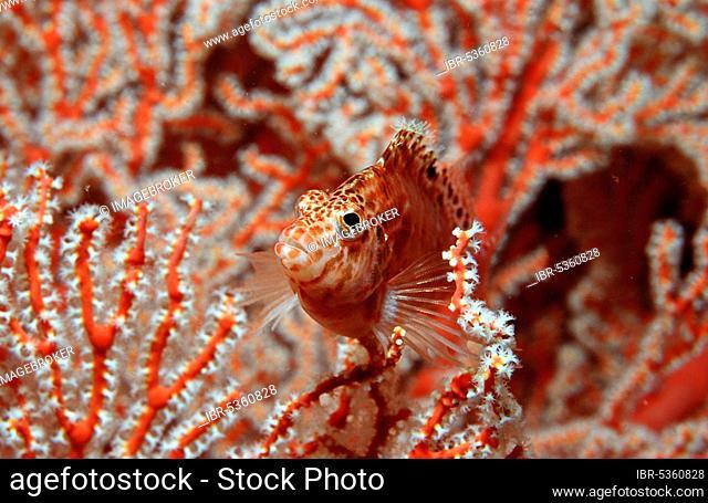 Dwarf coral reef guard, Dwarf Hawkfish (Cirrhitichthys falco), Indonesia, Asia