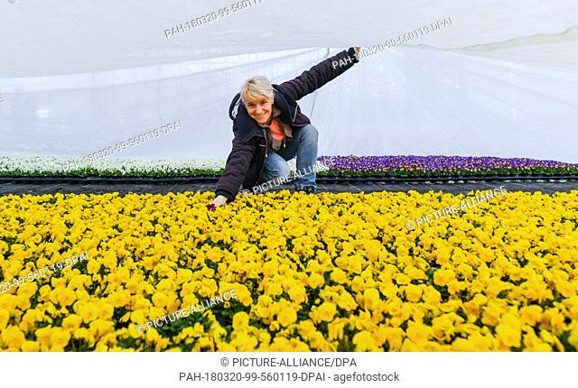 20 March 2018, Germany, Manschnow: The gardener Kathrin Elsner of the Fontana Gartenbau GmbH shows blooming horned violets under a cover in a greenhouse