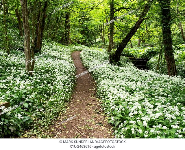 Footpath through Wild Garlic Flowers in Mackintosh Park in Spring Knaresborough North Yorkshire England