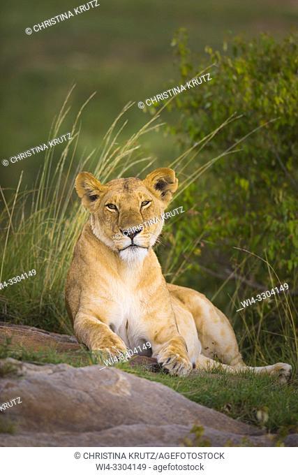 African Lion (Panthera leo), female resting, Maasai Mara National Reserve, Kenya, Africa
