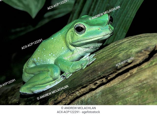Chinese Gliding Frog (Rhacophorus dennysi) - captive. Endemic to China, Laos, Burma, and Vietnam