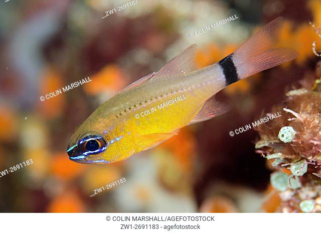 Ringtailed Cardinalfish (Ostorhinchus aureus), Anti-chovie Sea Mount dive site, Farondi Island, Misool, Raja Ampat (4 Kings), West Papua, Indonesia