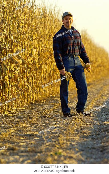 Agriculture - A farmer poses while inspecting mature ears of grain corn in the field with his partially harvested corn crop in the background / Iowa, USA